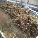 横浜市伐採した竹の処分