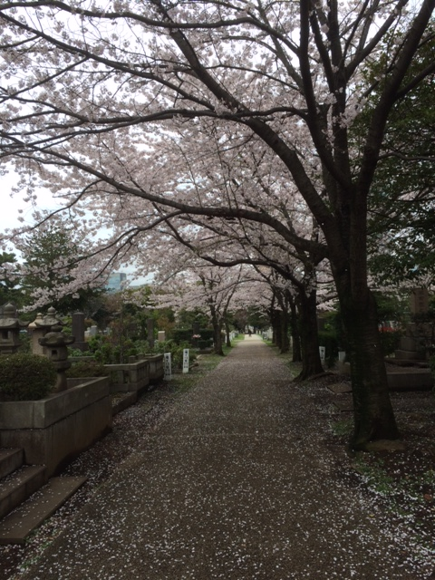 青山霊園桜