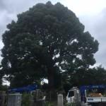 青山霊園樹木剪定作業