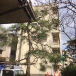 東京都邸宅内松の剪定作業